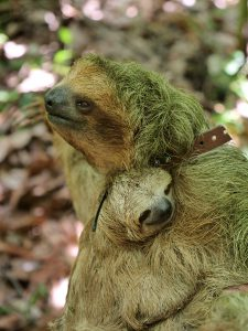 Wildlife Three-Toed Sloth
