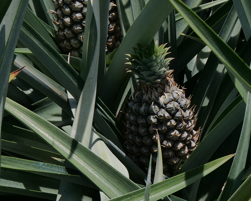 sustainable pineapples