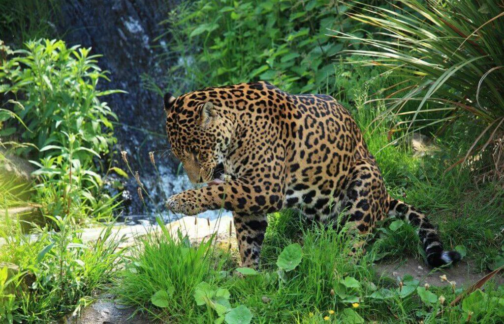 Costa Rican jaguar