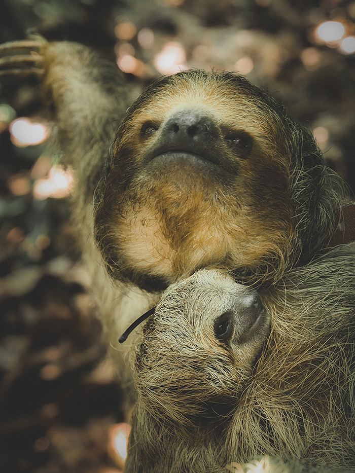 costa rican sloths